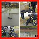 عملیات 125 در پی سقوط یک راس گاو در کانال آب /آتش نشانی رشت